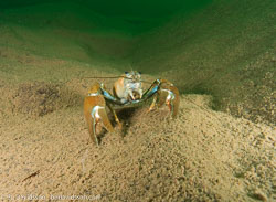 BD-081004-Hastholmen-041891-Pacifastacus-leniusculus-(Dana.-1852)-[Signal-crayfish.-Signalkräfta].jpg